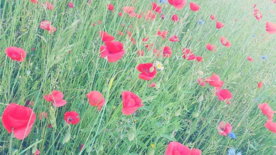 Loads of poppies. Poppy Poppy Flowers Poppies  Field Green Greenery Grass Summer Summertime
