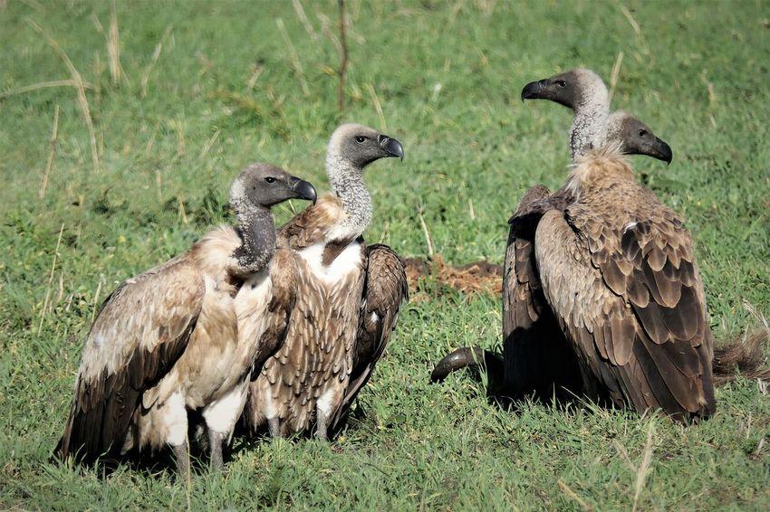 Serengeti Animal Themes Animal Wildlife Animals In The Wild Bird Bird Of Prey Day Field Geier Grass Nature No People Outdoors Serengeti National Park Tanzania Vulture