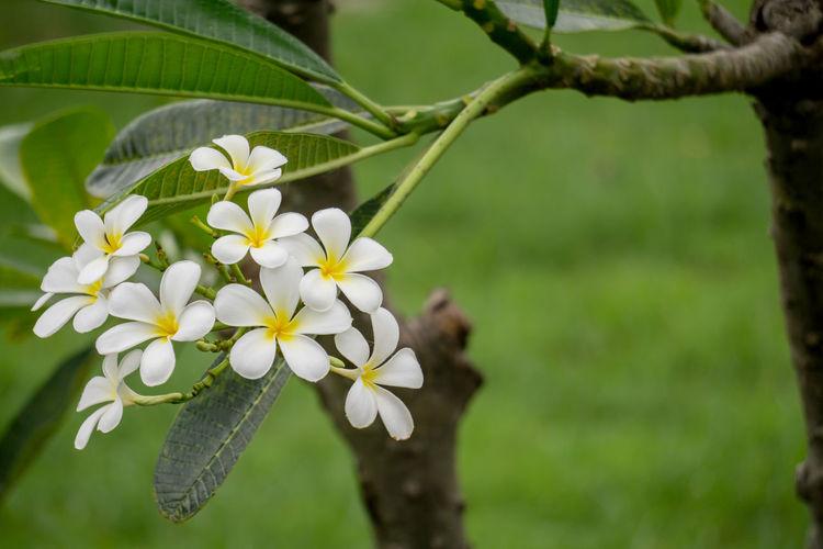 Close-up of frangipani plant
