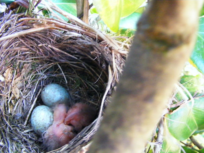 Animal Egg Animal Themes Beauty In Nature Bird Eggs Blackbird Eggs Blackbird Hatchlings Blackbird Just Born Close-up Growing Nature New-life Wildlife
