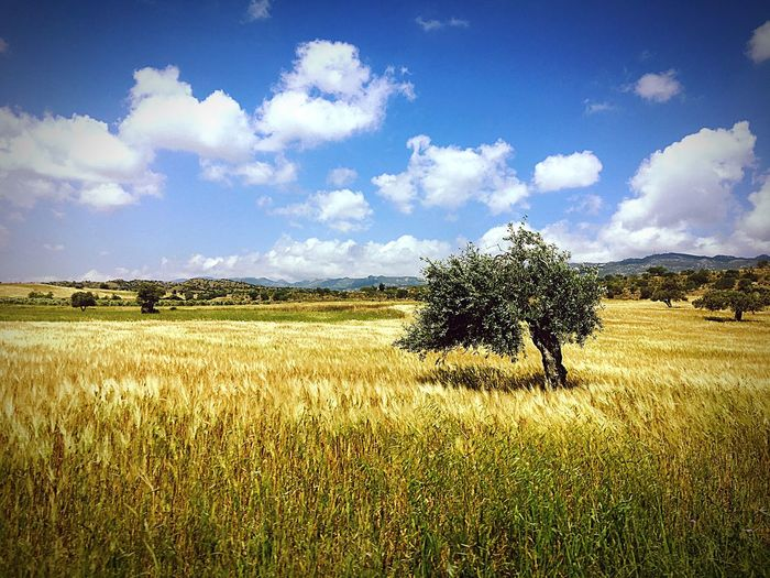 Plant Tree Cyprus Northerncyprus Kktc Olive Olivetree Field Mountain Spring