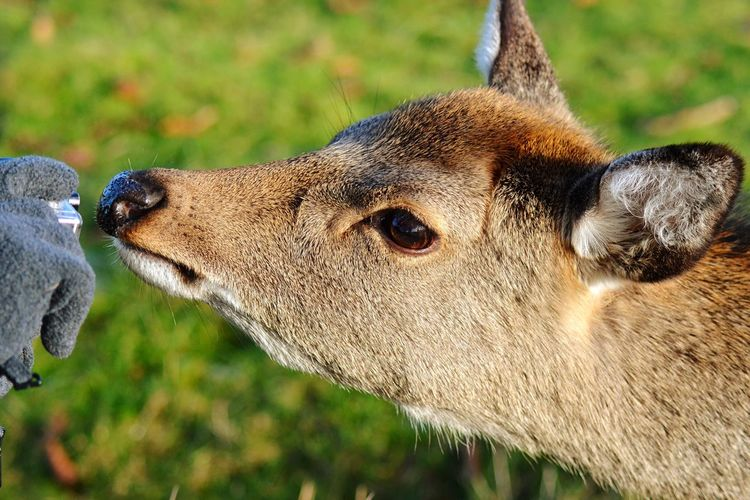 Deer Animal Themes Mammal One Animal Animal Head  Domestic Animals Focus On Foreground Day Close-up Animals In The Wild Outdoors Portrait Nature