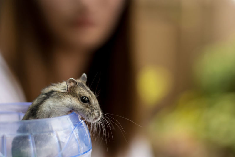 Animal Wildlife Close-up Domestic Domestic Animals Focus On Foreground Hamster Indoors  Mammal One Animal One Person Pet Owner Pets Portrait Rat Rodent Selective Focus Vertebrate Whisker