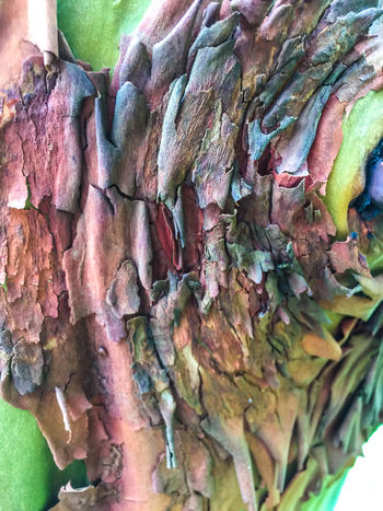 Backgrounds Bark Texture Closeup Closeupshot Madrona Madrona Tree Madrona Tree Bark Multi Colored Natural Pattern Outdoors Patterns In Nature Peeling Bark Textures Textures And Surfaces