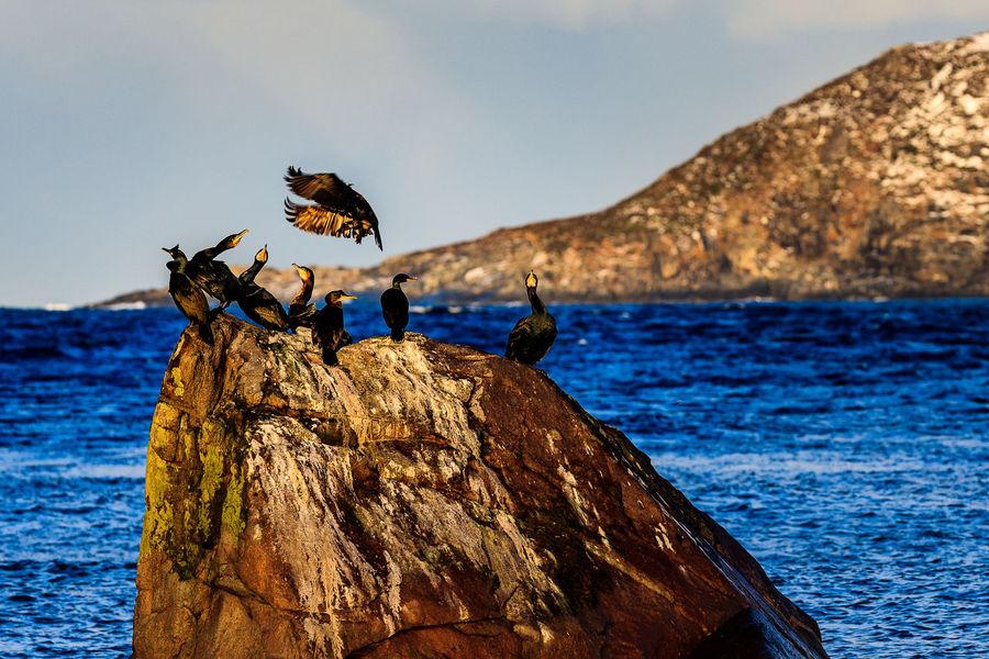 Landing Cormorant Animal Wildlife Bird Birds In Flight Cormorant  Cormorant Bird Lofoten Lofoten Islands Lofoten Norway Nature No People Norway Outdoors Sea Water My Year My View