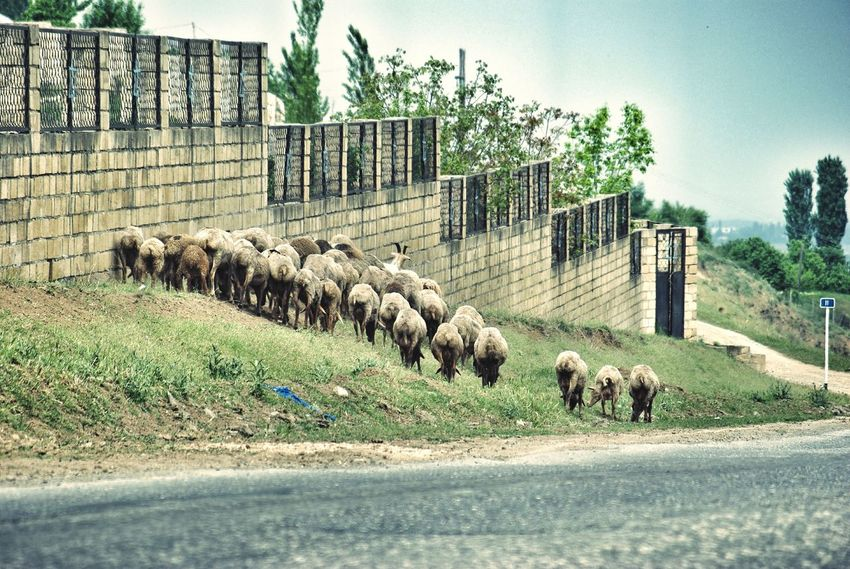 Goats Herd Of Goats Herd Jewish Cemetery Azerbaijan Adapted To The City