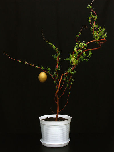 Close-up of potted plant in vase against black background