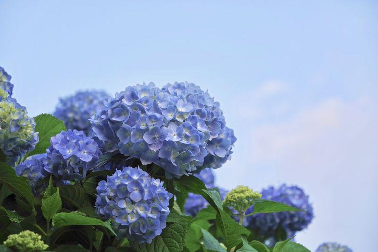 Close-Up Of Purple Hydrangea Flowers Against Blue Sky