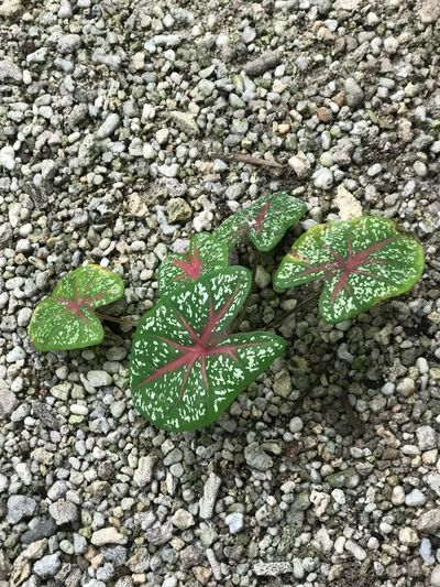 Green Color Nature Leaf Day Pebble High Angle View No People Rock - Object Outdoors Close-up Beauty In Nature Fragility Plant Lonely Plant Sand Background Sand Colours Of Nature Colourful Plants Colorful