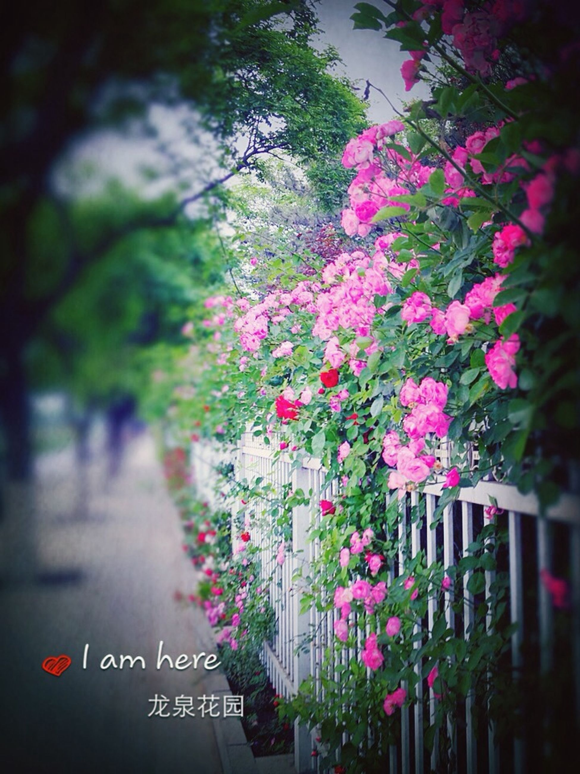 flower, growth, tree, focus on foreground, beauty in nature, freshness, nature, park - man made space, plant, fragility, blooming, pink color, petal, day, leaf, outdoors, red, selective focus, in bloom, blossom