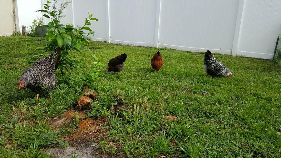 Backyard Chickens Backyard Chicken Backyard Farmer Urban Chickens Urban Farming Plymouth Barred Rock Wellsummer Rhode Island Red Silver Laced Wyandotte