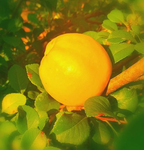 Quince Cydonia Oblonga Cydonia Fruit Food And Drink Helthy  Helthyfood Helthfood Garden Tree Leaf Fruit Yellow Close-up Plant
