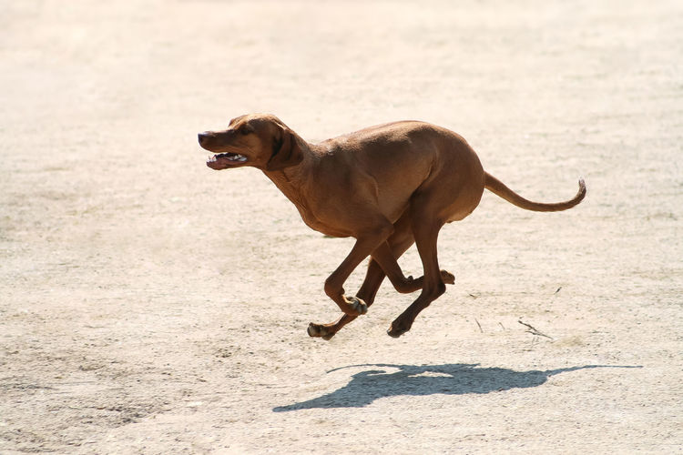 Purebred Rhodesian ridgeback dog without leash runs galloping outdoors in the park on a sunny day with shadow on the sand Gallop Rhodesian Ridgback Rhodesian Ridgeback Dog Run Running Thirst Vizsla Active Aspiring Beach Beagle Betting Brown Dog Fast Game Hunting Jumping Pet Playing Purebred Sand Shorthair Sports Time