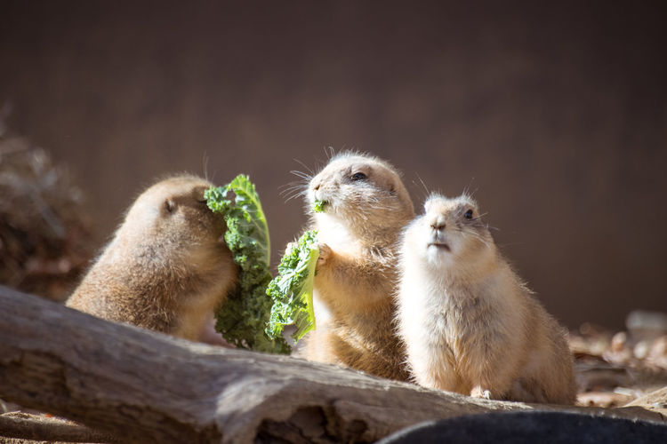 Close-Up Of Marmots