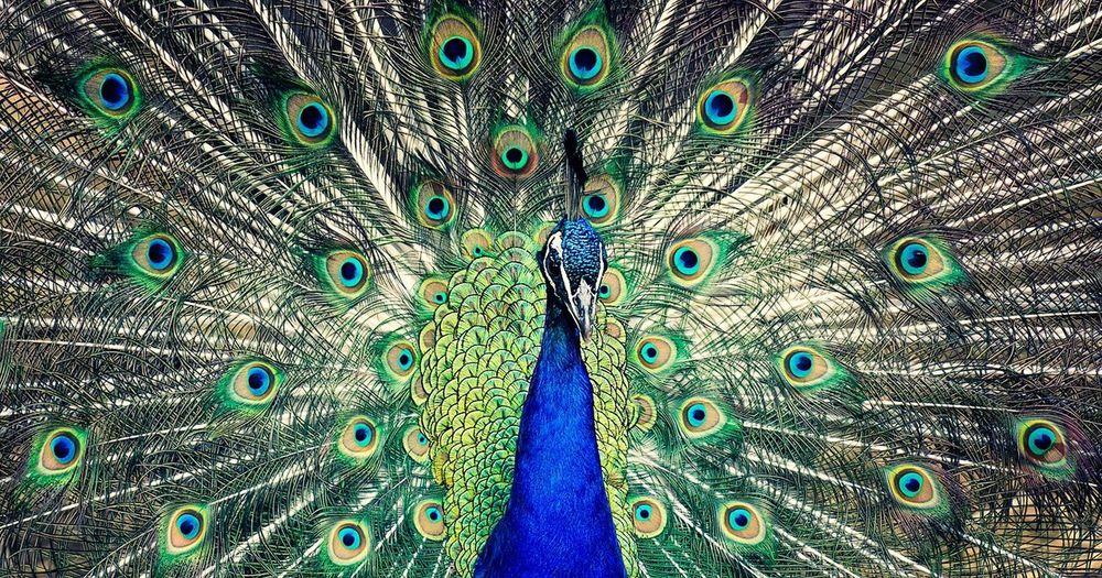 Full frame shot of beautiful peacock dancing