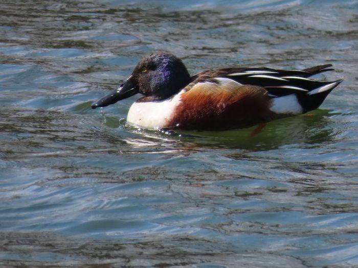 Northern shoveler swimming water ripples outdoors Birds of EyeEm beauty in nature outdoors birdwatching closeup