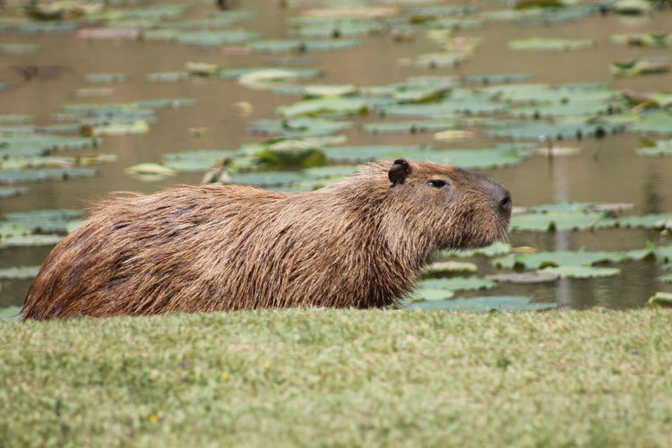 Side view of capybara standing by lake