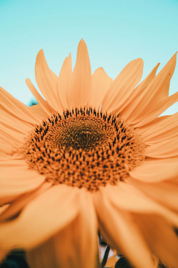 Close-up of sunflower against clear sky