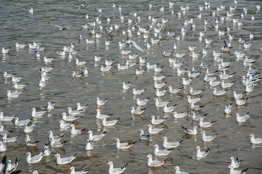 seagulls in action is flying on the sky with cloud No People Day Water Large Group Of Animals High Angle View Nature Animal Vertebrate Animal Wildlife Animals In The Wild Group Of Animals Beauty In Nature Outdoors Full Frame Bird Sea Animal Themes White Color Flock Of Birds