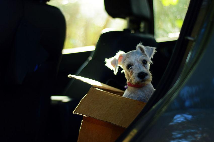 Schnauzer in a box Box Cachorro Cachorros Dogs Schnauzer Schnauzerlife Canine Dog Domestic Domestic Animals Indoors  One Animal Perro Perros  Pets Puppy Schnauzerlove Schnauzermoments Schnauzers First Eyeem Photo