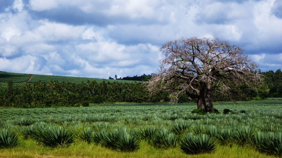 Africa Kenya Tsavo Est Nature Tree Sky Cloud On Moves Bare Tree Environment Plant Cloud - Sky Landscape Field Scenics - Nature Agriculture Rural Scene