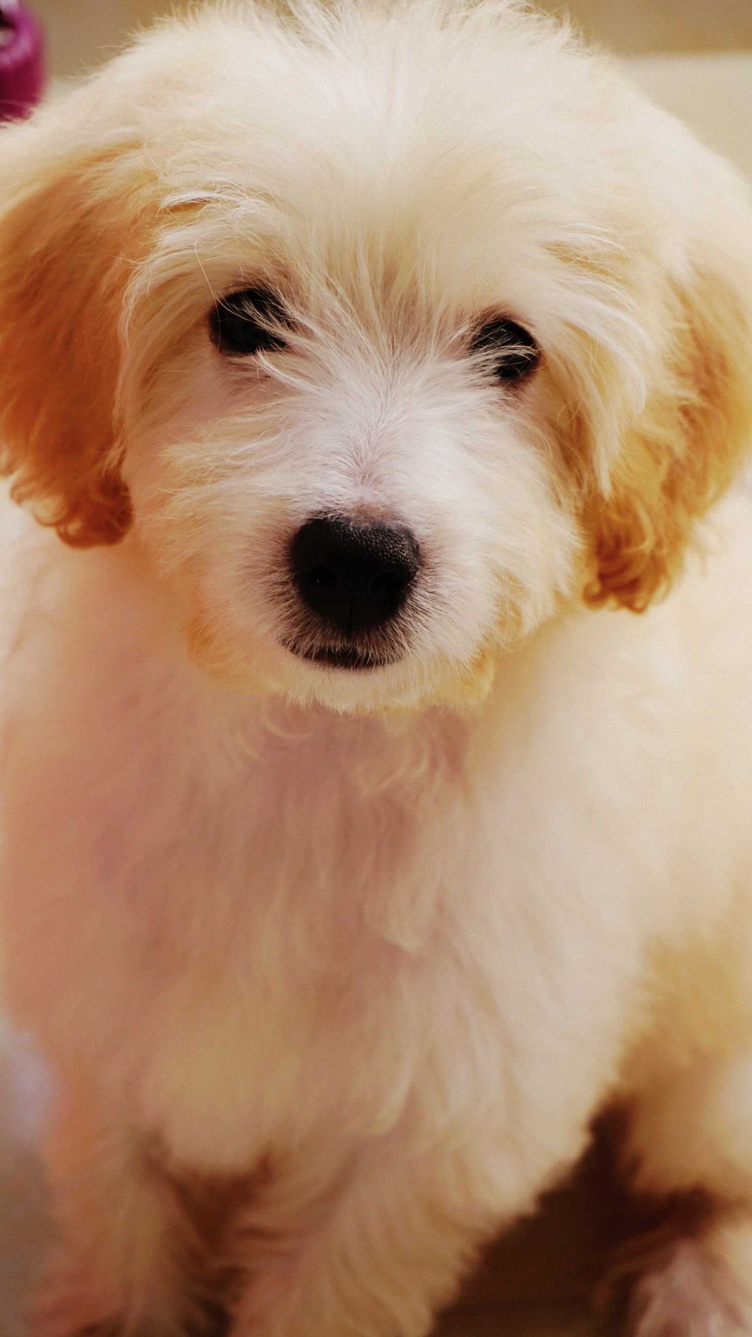 domestic, dog, one animal, canine, pets, mammal, domestic animals, looking at camera, portrait, vertebrate, white color, indoors, animal hair, hair, close-up, no people, animal body part, small, snout