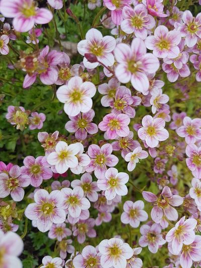 saxifraga....moos Steinbruch.. ..wonderful Outdoor Photography Garden Garden Photography Outdoors Saxifraga Flower Head Flower Petal High Angle View Pink Color Close-up Blooming Plant In Bloom Botany Plant Life