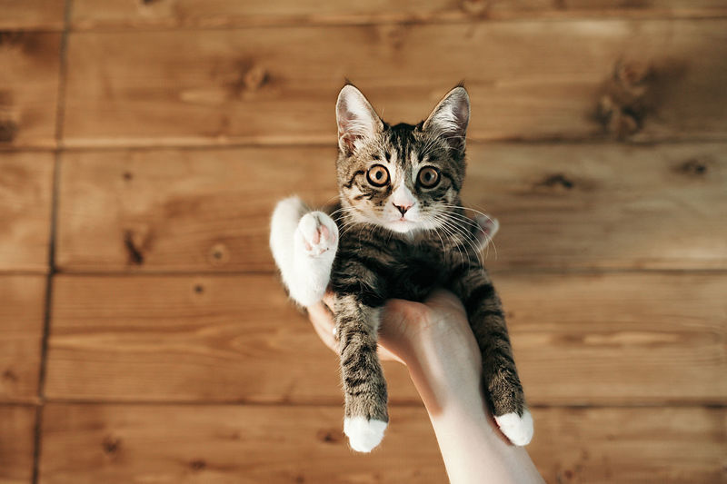 Kuril bobtail kitten amusingly sits upside down on one hand against wall