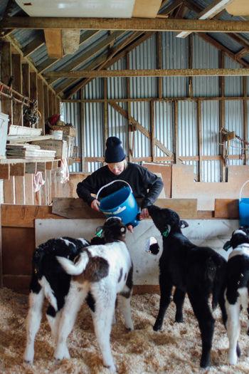 Farm Farm Life Farmer Feeding  Feeding Animals Love Animal Themes Animals Baby Animals Baby Cow Calf Cows Cute Dairy Farm Dairy Farming Domestic Animals Dream Life Drinking Drinking Milk Feeding Calfs Mammal Milk New Zealand One Person Pets