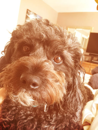This is my little teddy bear Charlie💜 he's the Handsomest Dog In America Woof !
