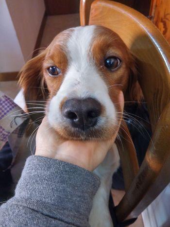 Peluchino. Epagneul Breton Dog Pet Brittany Spaniel Cute Animals
