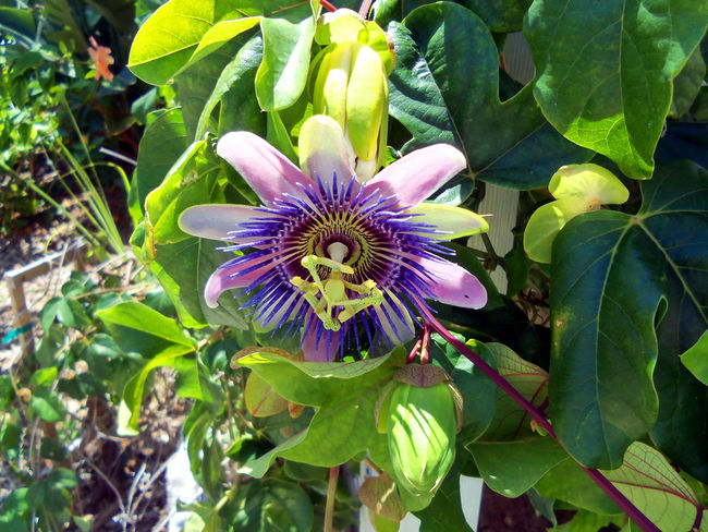 Exquisite Passion Flower Beauty In Nature Blooming Close-up Day Dramatic Sky Exquisite Beauty Exquisite Flower Flower Flower Head Fragility Freshness Green Color Growth Leaf Nature No People Outdoors Passion Flower Petal Plant Tropical Climate