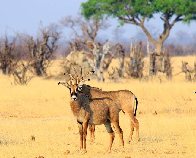 Gemsbok standing on field