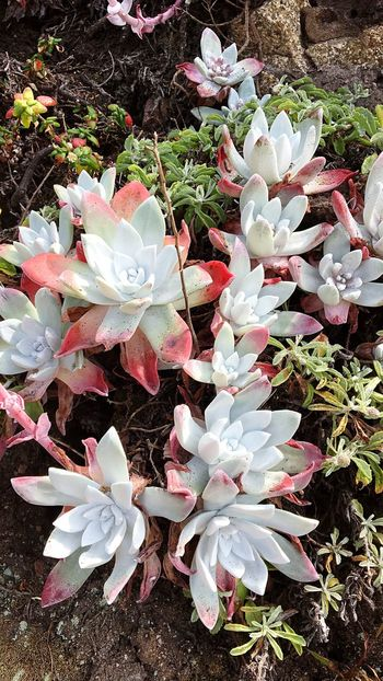 I love succulents Flower Petal Beauty In Nature Growth Nature Fragility White Color High Angle View No People Freshness Plant Outdoors Flower Head Blooming Day Close-up