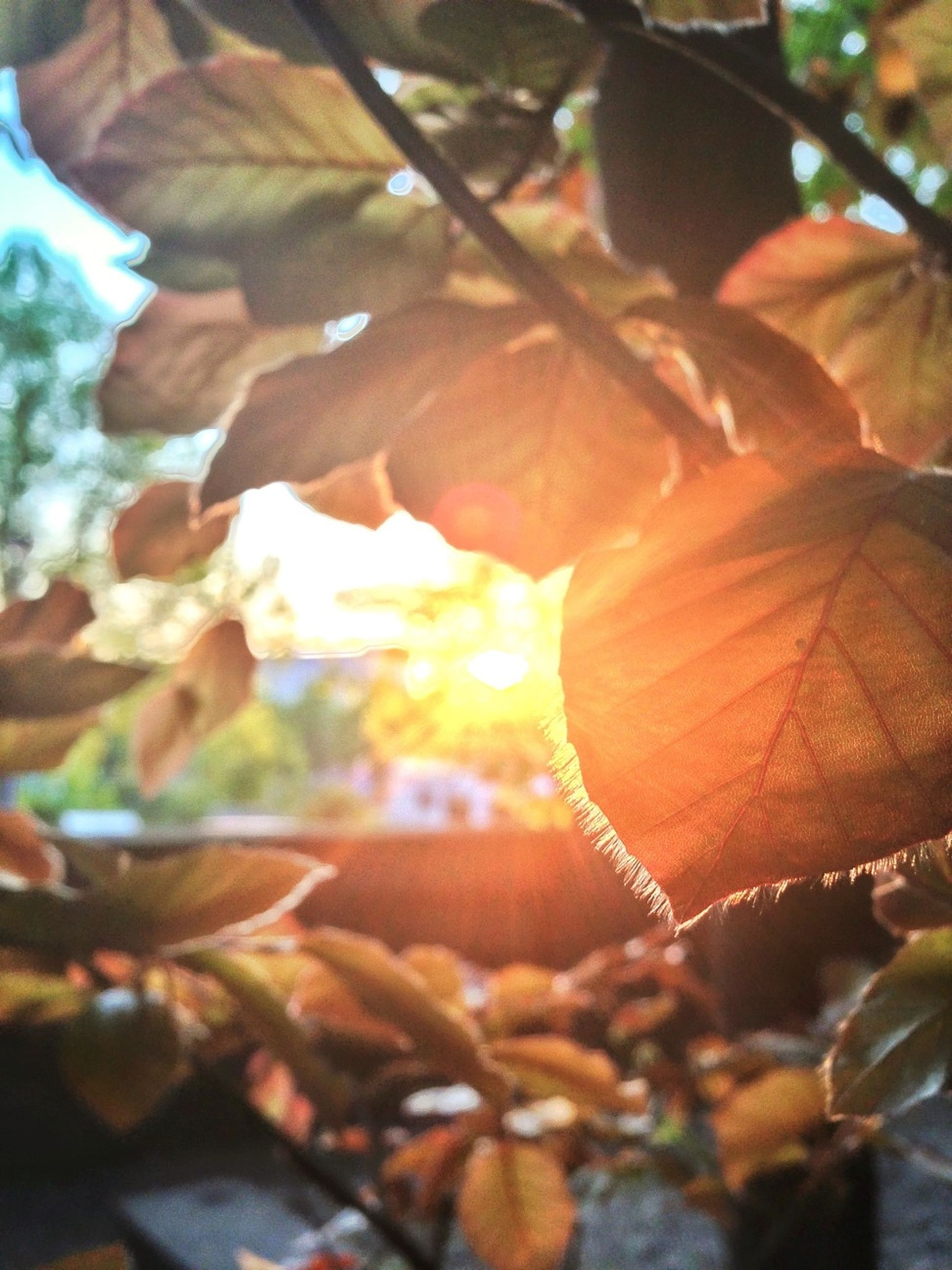 leaf, tree, branch, focus on foreground, growth, close-up, nature, autumn, leaves, leaf vein, beauty in nature, sunlight, change, low angle view, season, selective focus, tranquility, outdoors, natural pattern, day