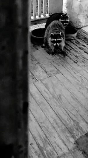 visiting racoon's Racoon In The City Racoon Close Up Racoon Visit Beauty In Nature Black And White Collection  My Point Of View Porch View Feeding Animals Racoon Eyes Pets Looking At Camera Sitting