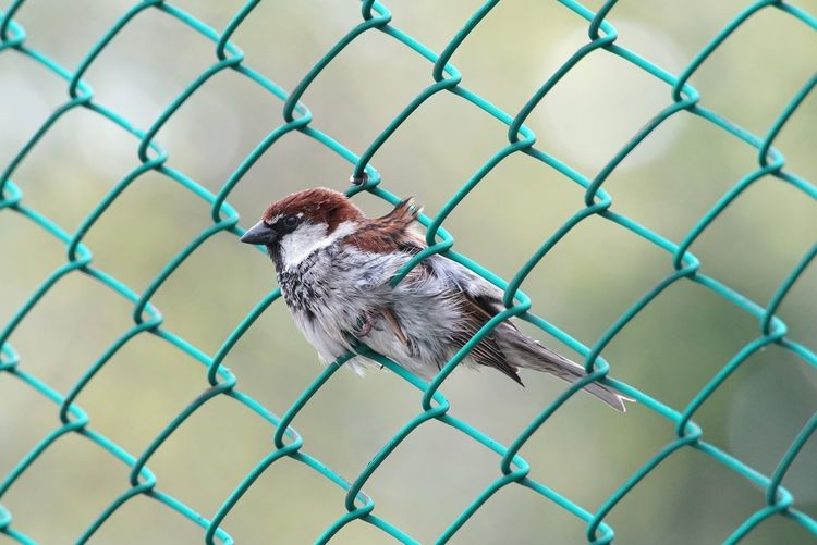 Passerotto Bird Passero Passerotto Uccellino Rete Net Soccer Field Sport Prisoner Trapped Soccer Cage Protection Metal Chainlink Fence Net - Sports Equipment Razor Wire Netting Summer Exploratorium