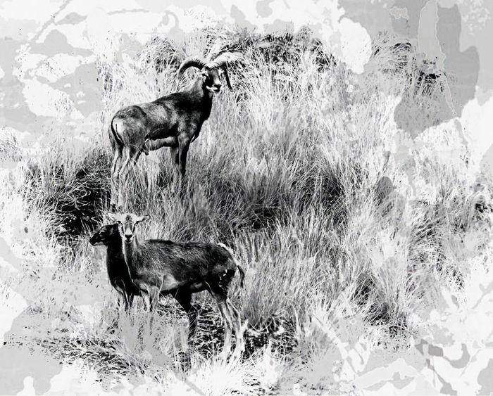 Horns Animal Animal Themes Animal Wildlife Animals In The Wild Black And White Blackandwhite Blackandwhite Photography Field Grass Group Of Animals Hunting Nature No People Outdoors Sheep Sheep🐑 Wild Sheep Wildlife