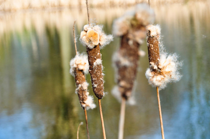 Close-up of wilted plant by lake