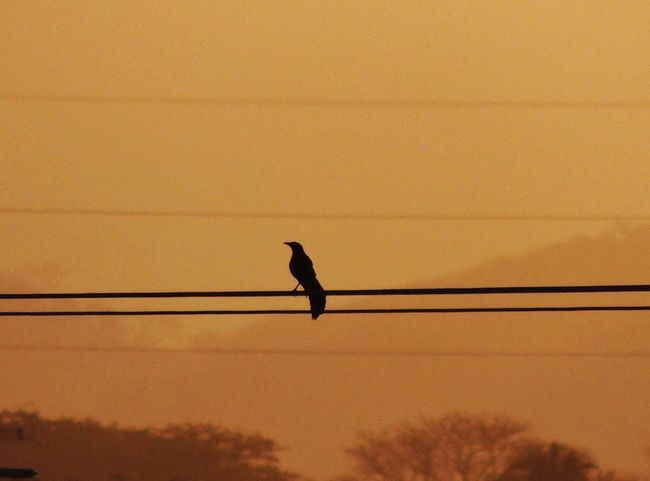 Bird Animal Themes One Animal Sunset Silhouette Cable Orange Color Crow Cuervos