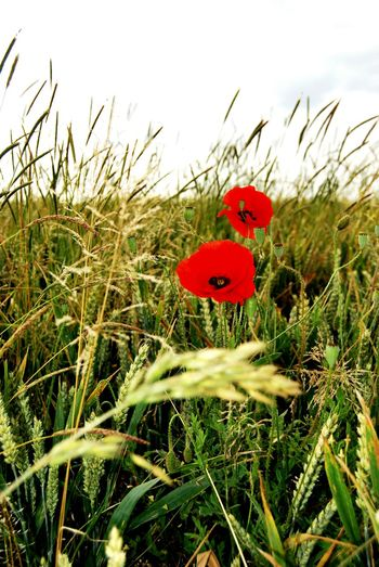 Poppies  Poppy Fields Somme France Flanders Ww1 World War 1 War Tim Bailie Flowers Red Grass Check This Out Dailyphoto