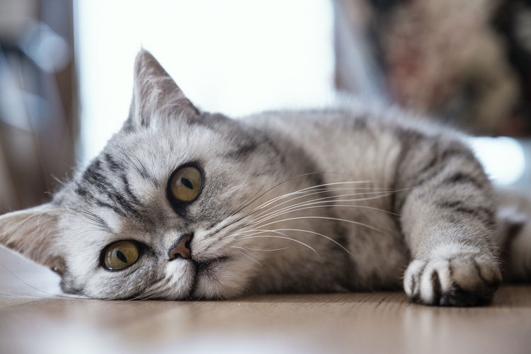 Cat Domestic Cat Domestic Pets Animal Themes Animal Feline Mammal Domestic Animals One Animal Relaxation Vertebrate Looking At Camera Lying Down Portrait Indoors  Close-up Selective Focus Resting No People Whisker Animal Eye Flooring Animal Head  Yellow Eyes