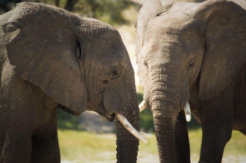 Close-up of elephants