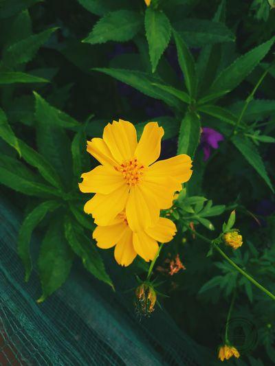 Hoa là nguồn cảm hứng đầu tiên để tôi học hỏi cách chụp ảnh thế nào cho đẹp. Chơi hoa đối với tôi là đang hưởng thụ cái đẹp , cái tinh túy của đất trời ban tặng . Hoa dại chính là nghệ thuật của tôi #MyArt #bloomingyouth Summer Exploratorium Flower Head Flower Yellow Leaf Beauty Petal Close-up Plant Green Color First Eyeem Photo
