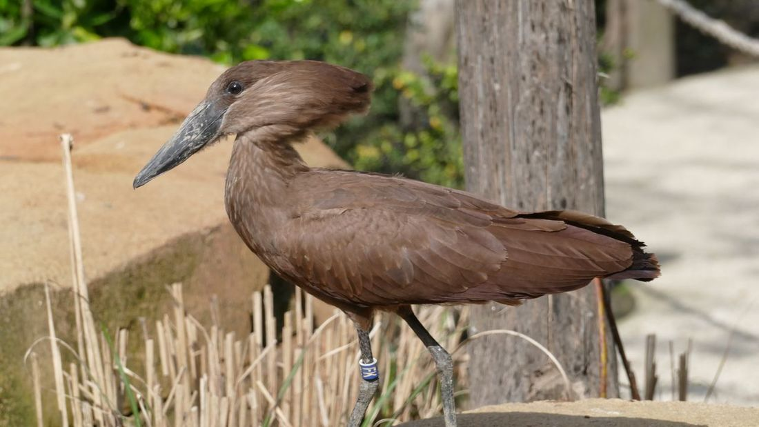 EyeEm Selects Hamerkop Water Bird Scopus Umbretta Fauna Feathers Bird Photography Animal One Animal Animal Themes Animal Wildlife Vertebrate Bird Animals In The Wild Nature Brown Side View Outdoors No People Close-up Focus On Foreground Day