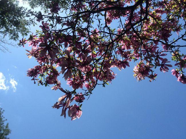 Tree Flowers Magnolia