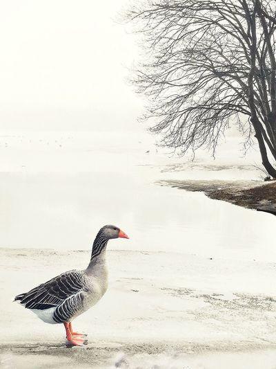 Winter Landscape Fog Snow Goose Fowl Water Frozen Suburban Landscape