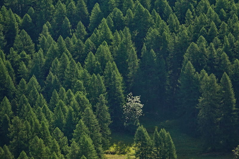 High Angle View Of Pine Trees At Forest