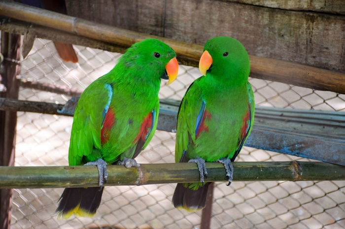 เรารักกัน Animal Animal Themes Animal Wildlife Animals In Captivity Animals In The Wild Bird Budgerigar Cage Close-up Green Color Group Of Animals No People Outdoors Parakeet Parrot Togetherness Two Animals Vertebrate ความผูกพัน ความรัก คู่รัก นก นกสีเขี สีเขียว เรารักกัน