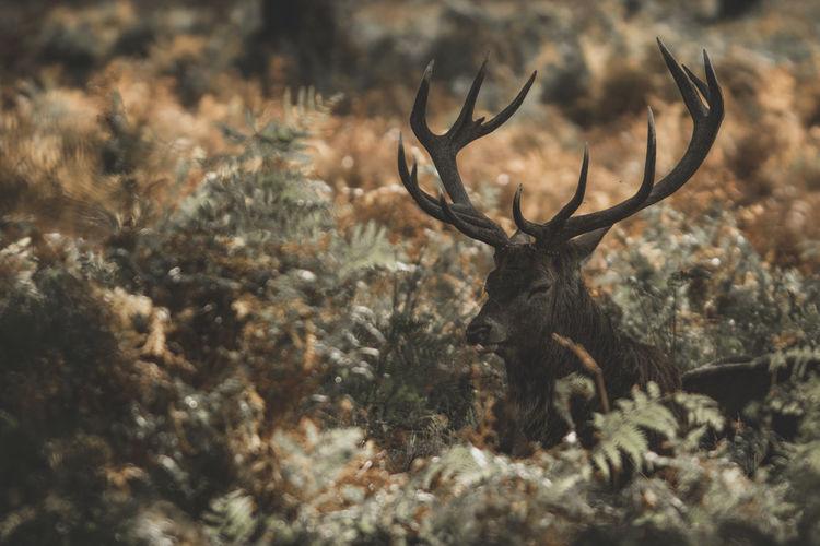 Red deer (Cervus elaphus) Animal Themes Animal Animal Wildlife One Animal No People Deer Design Dark